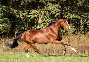 Body Condition Scoring determines whether the horse is thin, normal or fat. This allows important conclusions to be drawn about feeding.