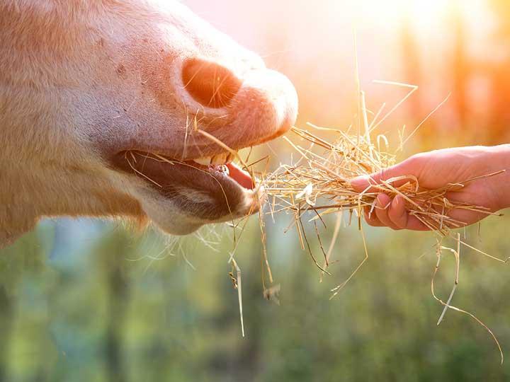 Pferd Handfütterung