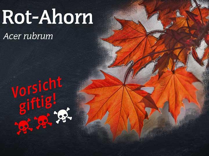 Rot-Ahorn