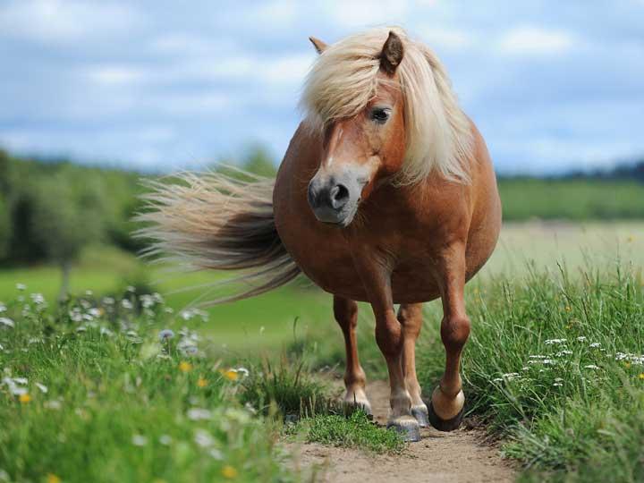 dickes Pferd